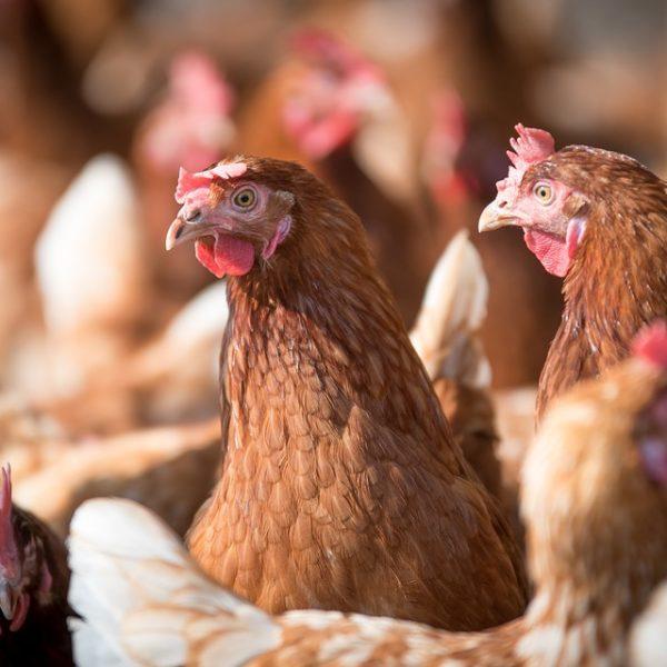 poulorama-10-faits-insolites-sur-les-poules