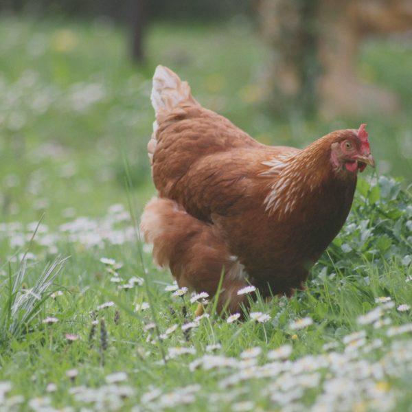 poulorama-6 plantes pour des poules en santé!