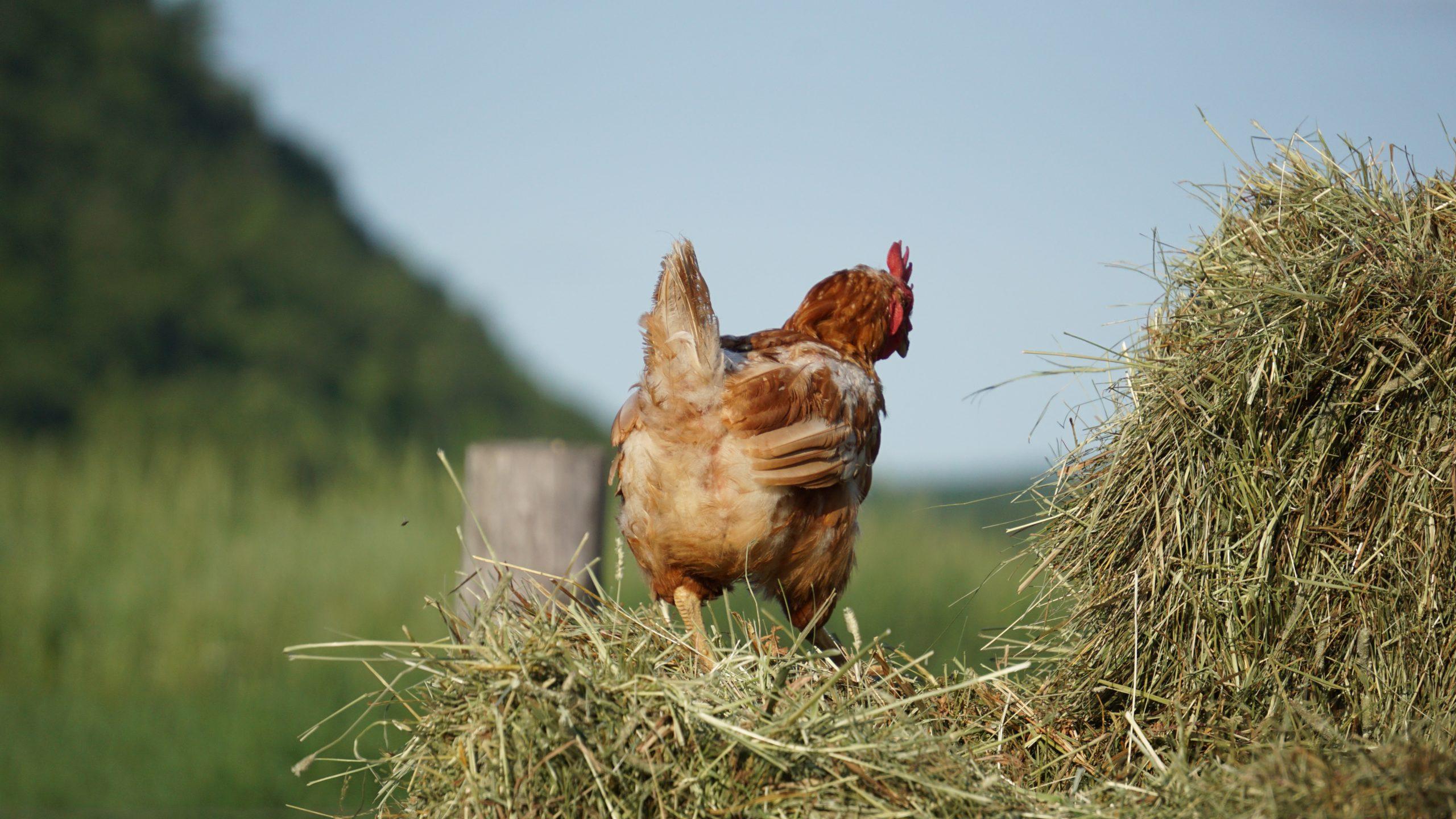 poulorama-Cultiver la nourriture de vos poules