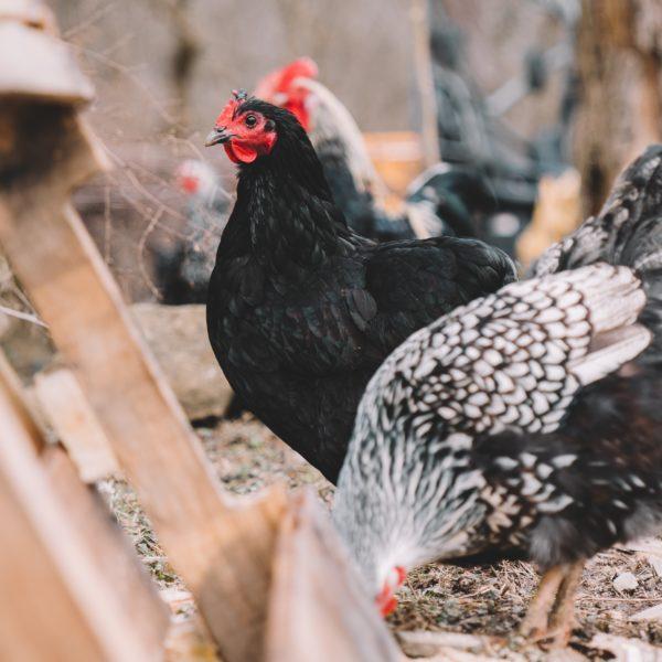 poulorama-acheter-des-poules-comment-reconnaitre-une-poule-en-bonne-sante