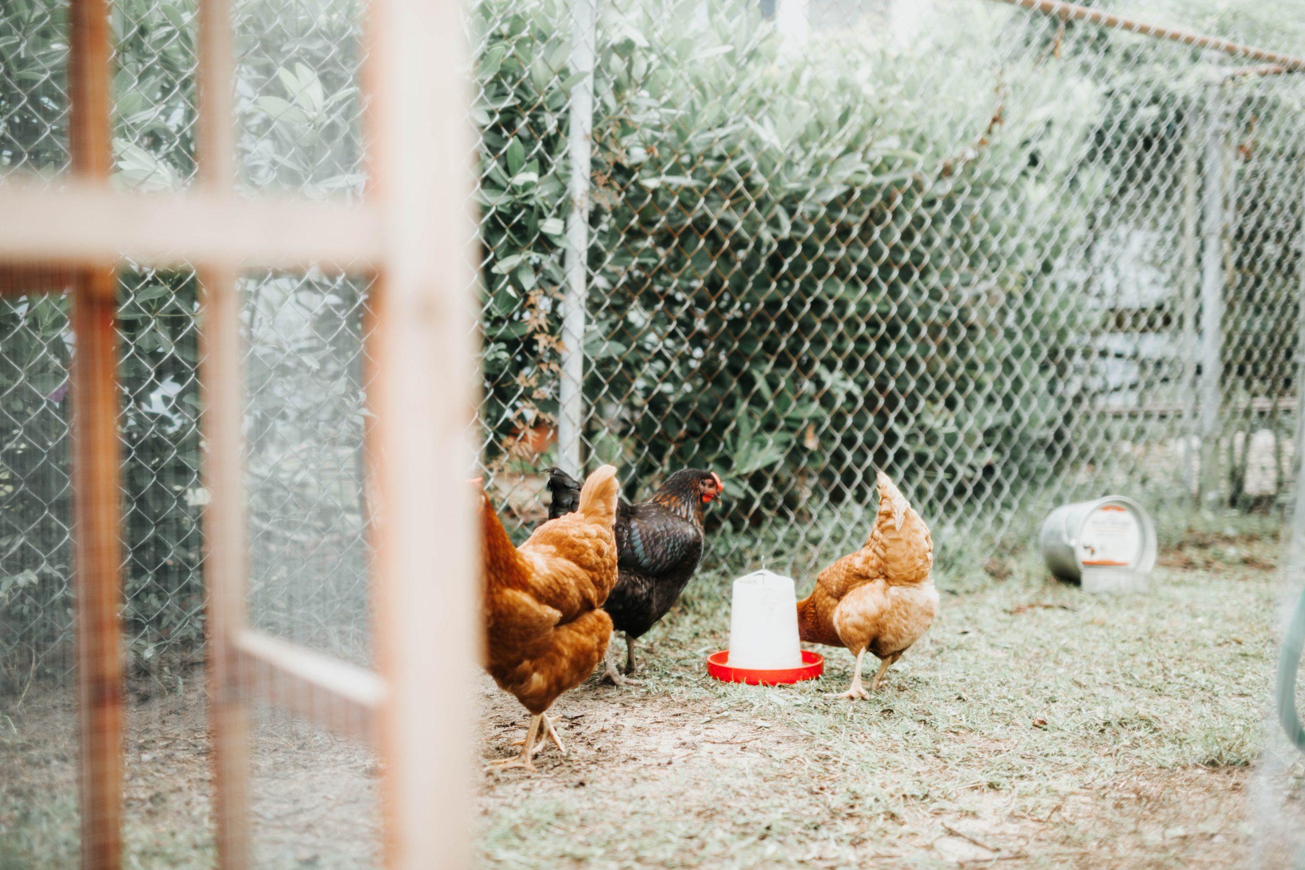 poulorama-combien-de-poules-faut-il-avoir-au-minimum