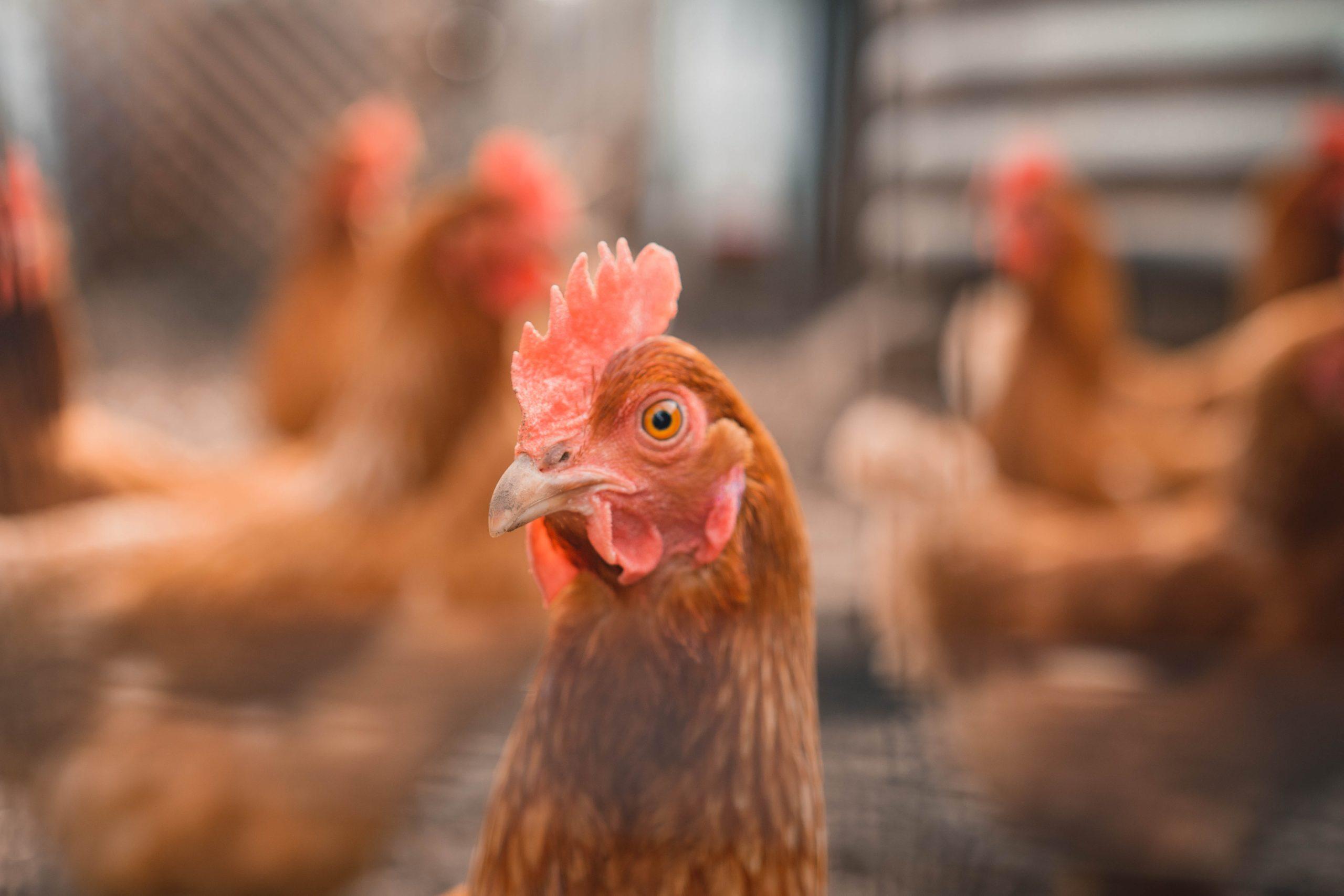 poulorama-combien-de-poules-faut-il-pour-avoir-des-oeufs