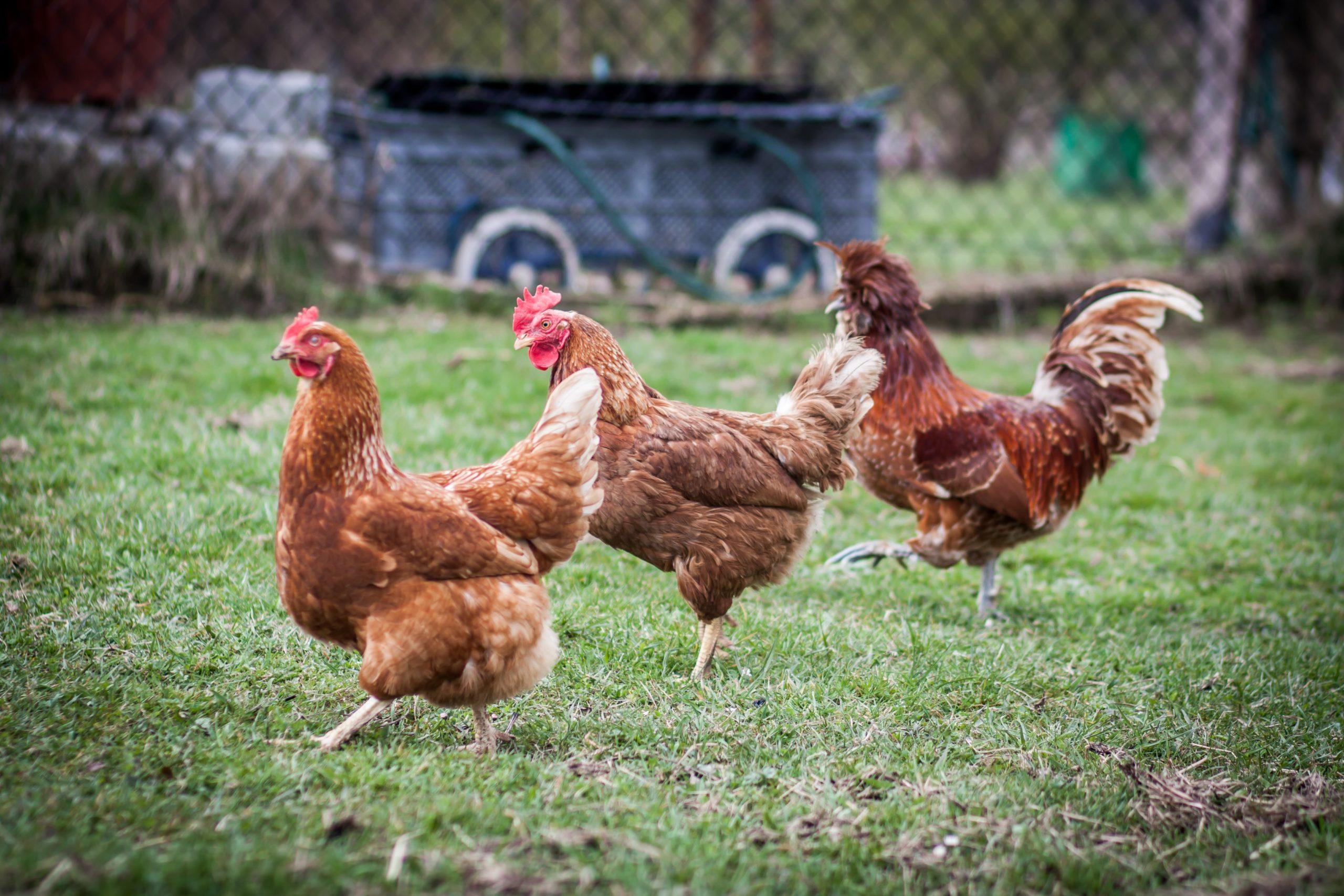 poulorama-comment-integrer-de-nouvelles-poules-dans-le-poulailler
