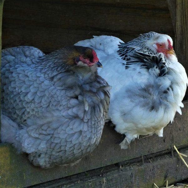 poulorama-connaitre-laliment-prefere-de-vos-poules
