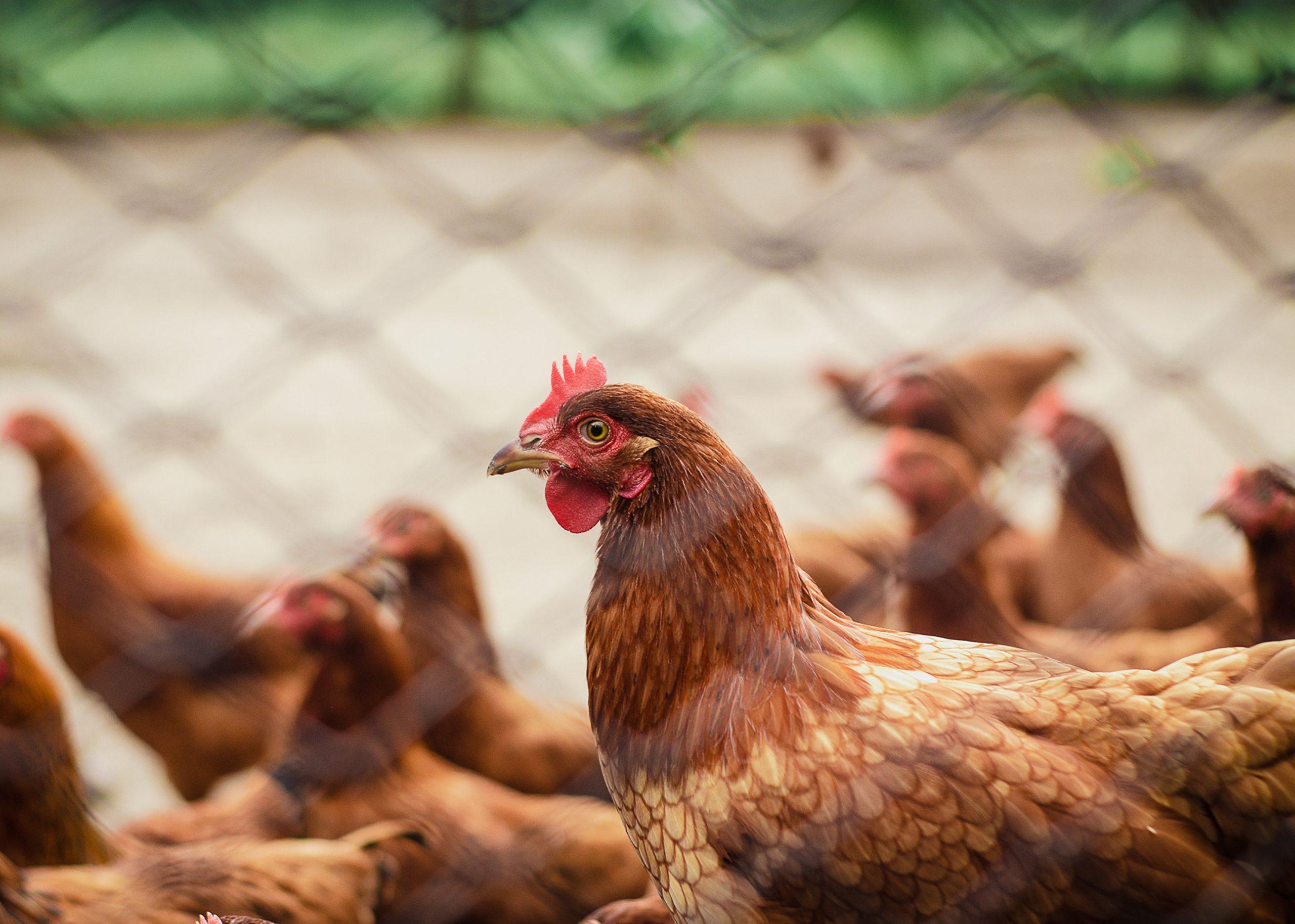 poulorama-des-poules-la-base-pour-etre-plus-autonome