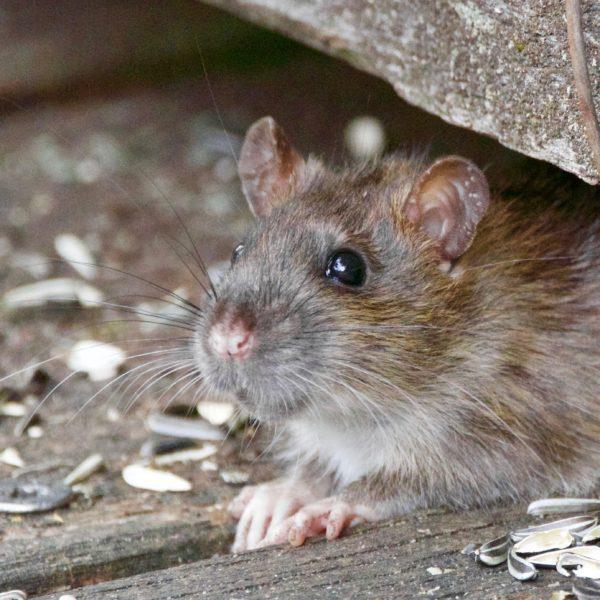 poulorama-eviter-les-problemes-de-rats-souris-au-poulailler