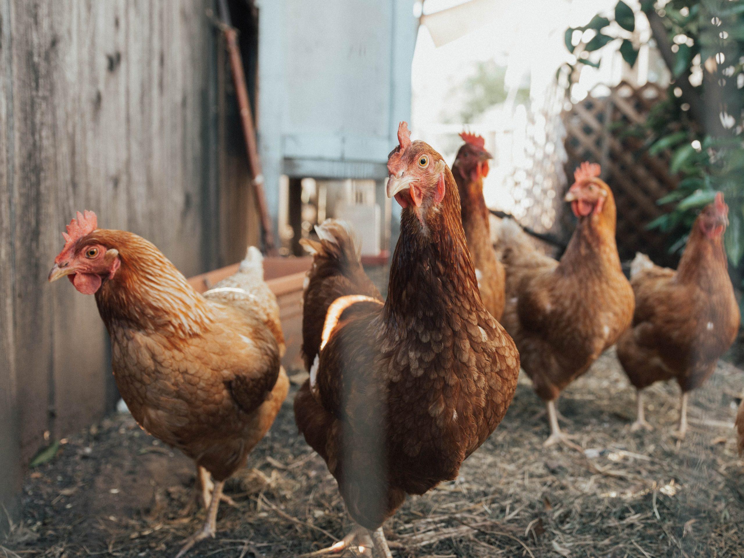 poulorama-huiles-essentielles-cannelle-origan-un-antibiotique-naturel-pour-les-poules-et-les-volailles