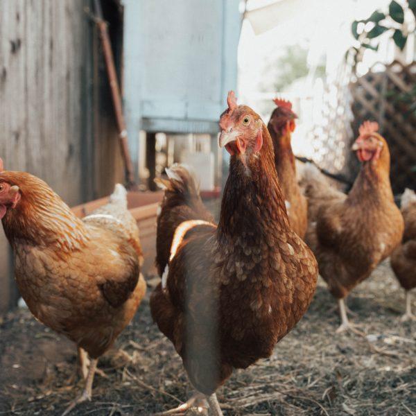 poulorama-introduire-de-nouvelles-poules-au-poulailler-etape-par-etape