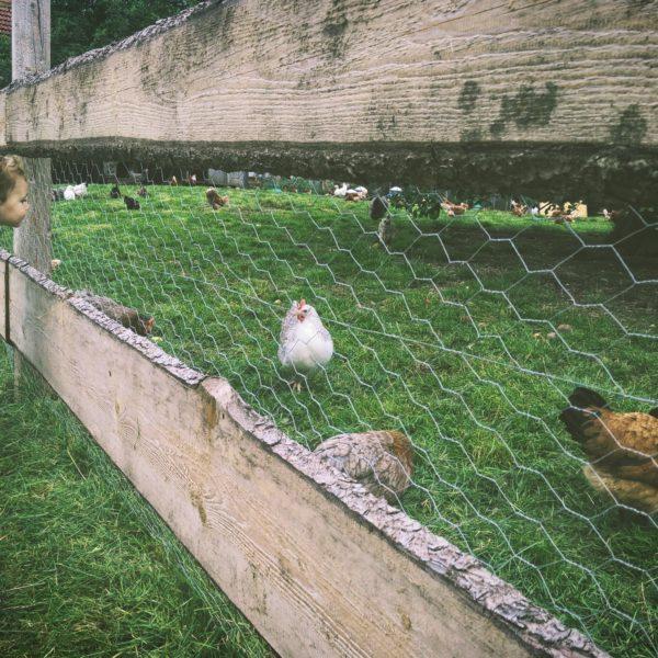 poulorama-le-parcours-ideal-des-poules