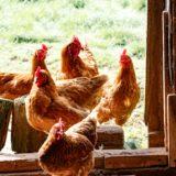 poulorama-les-differentes-races-de-poules