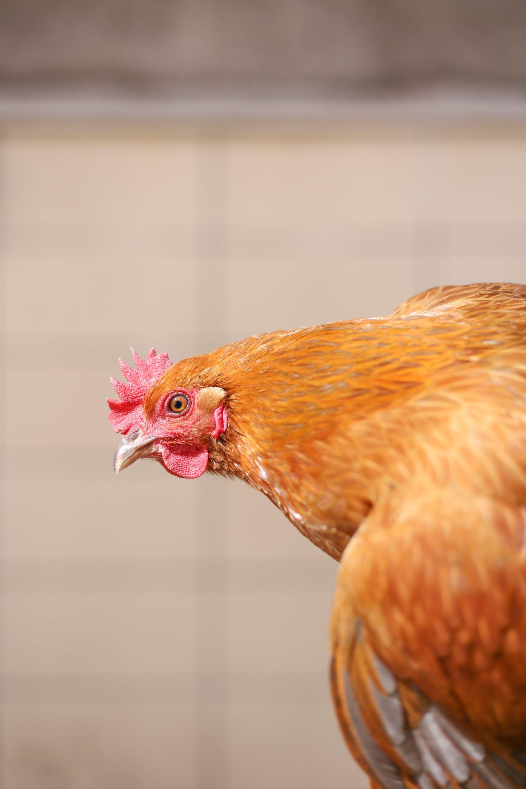 poulorama-les-parasites-et-maladies-des-poules-les-identifier