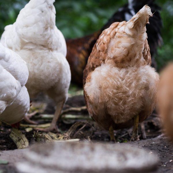 poulorama-recette-de-patee-pour-poules (2)