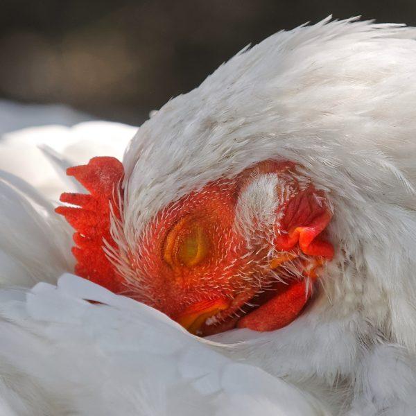 poulorma-rhume-coryza-quelles-solutions-pour-mes-poules