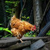 vermifuger-les-poules