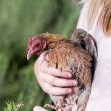 Réduire le stress de vos poules