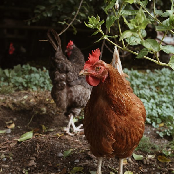 ete-canicule-et-poulailler-proteger-ses-poules
