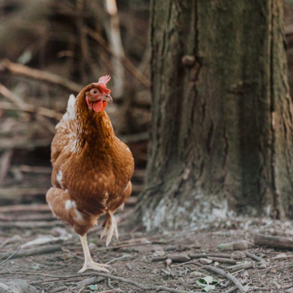peut-on-manger-les-oeufs-les-poules-atteintes-de-coryza