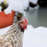 poules en hiver neige